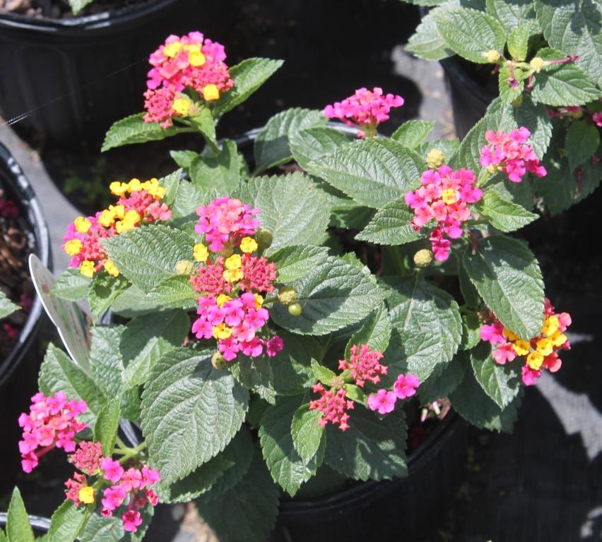 yellow and purple lantana try dwarf lantana for a summer and fall blooming perennial