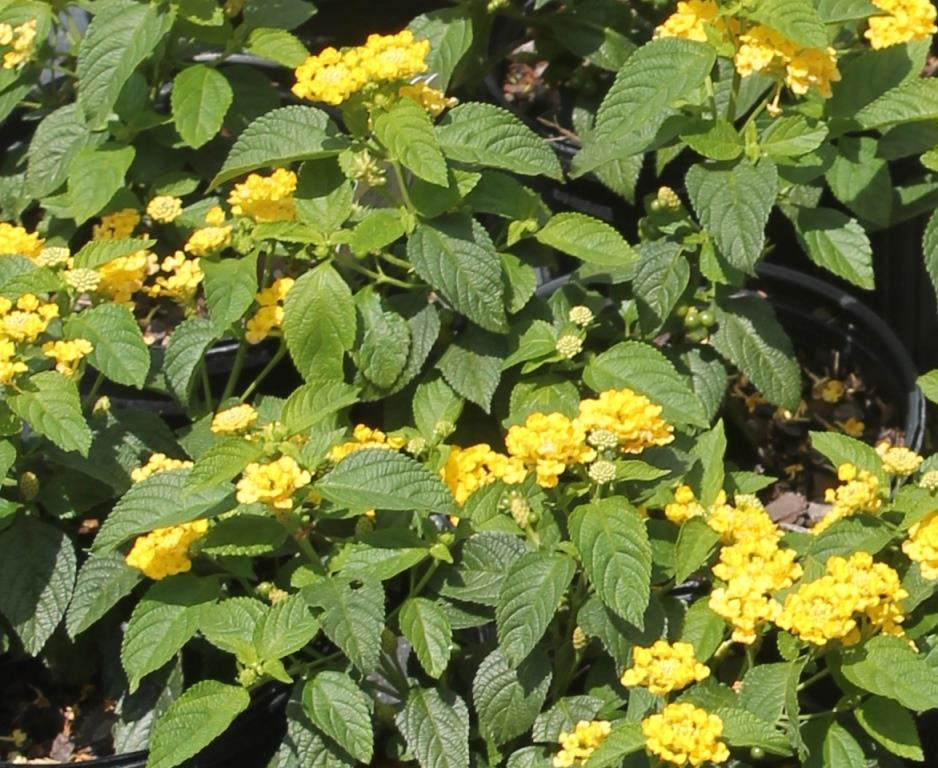 Try dwarf lantana for a summer and fall blooming perennial dwarf lantana cultivar improved nugget image credit ufifas matthew orwat mightylinksfo