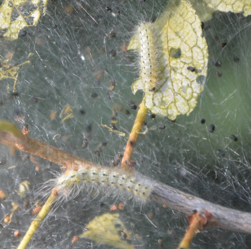 Tent Caterpillars are quick to hatch and eat their way through home landscapes.