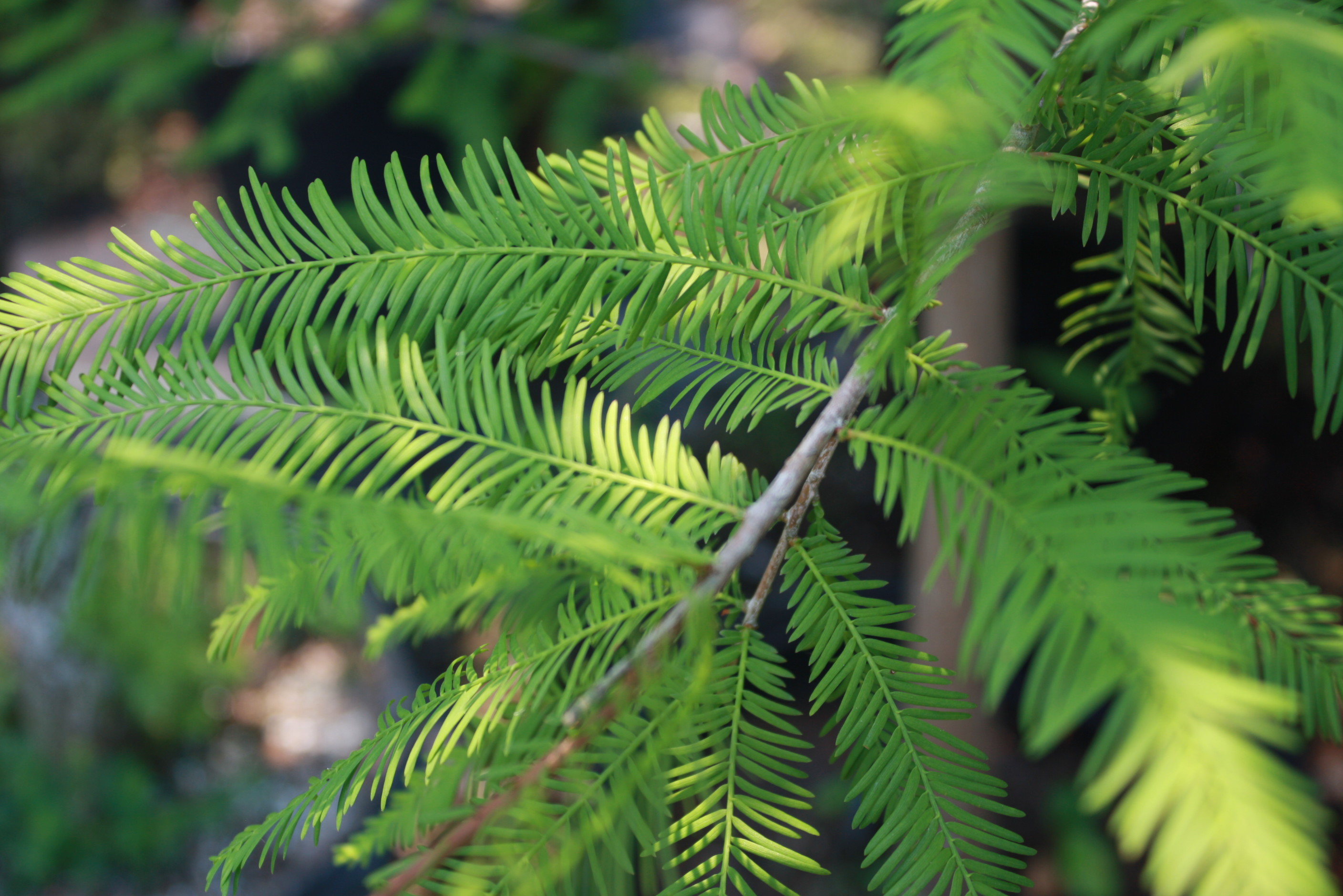 Bald Cypress:  The Most Adaptable Tree for Panhandle Landscapes