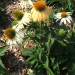 white coneflower