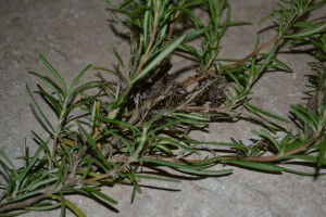 Rosemary damage_moth