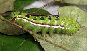 I O Moth Caterpillar, Image Credit UF Entomology