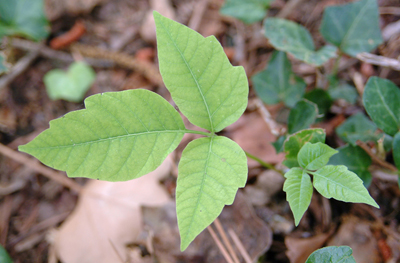 A picture of poison ivy with its characteristic 3 leaflets.