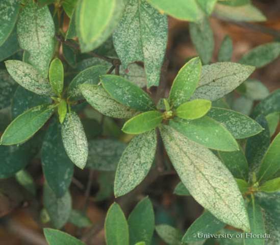 Common Azalea Problems: Azalea Diseases & Azalea Plant Pests |Azalea Diseases