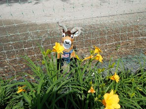 Deer are known to eat daylilies in the landscape. To prevent browsing, choose other plants or create a barrier with deer fencing.