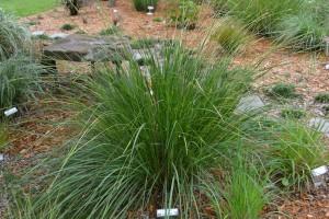 Gamma grass