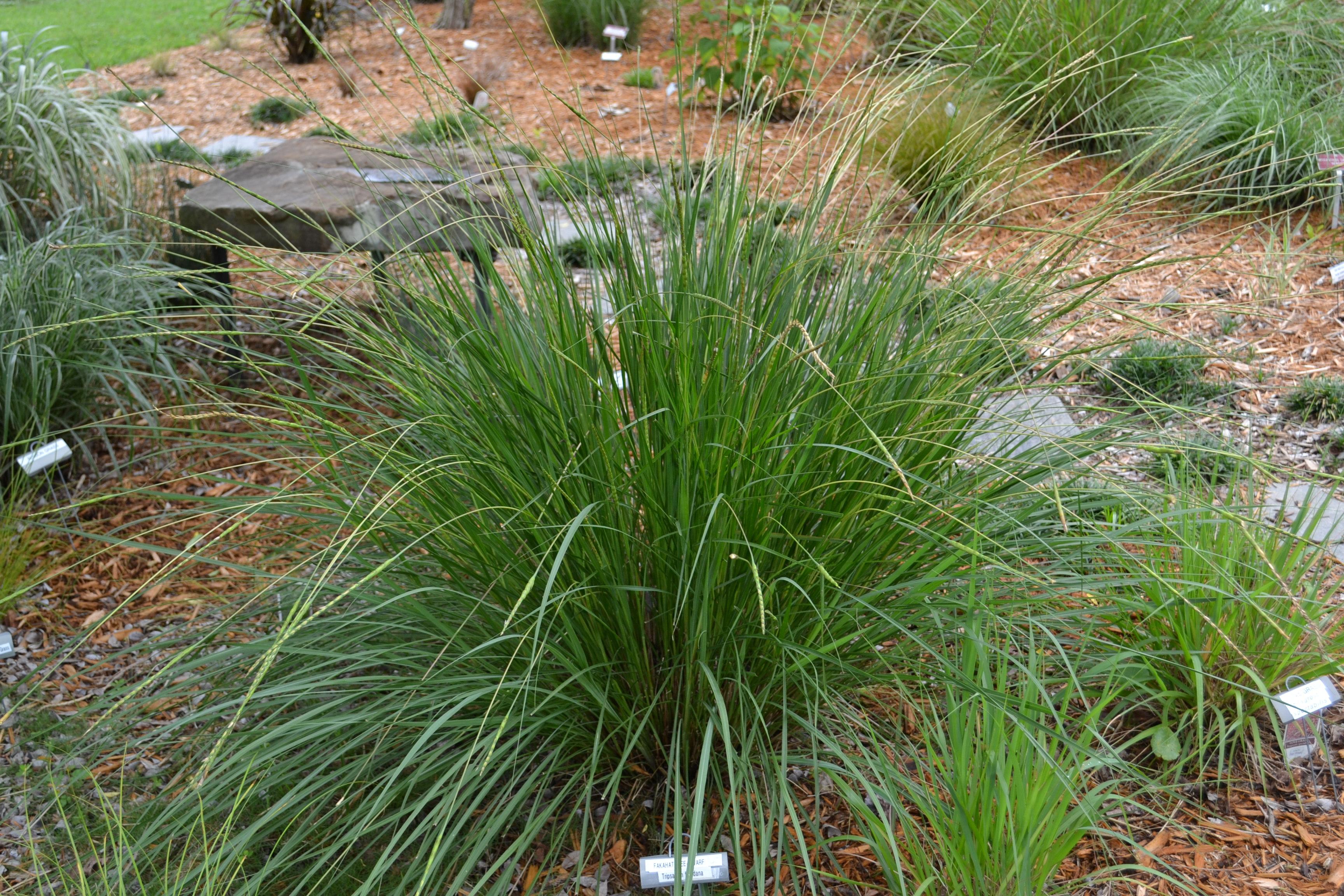 Native Grass for Moist Soils