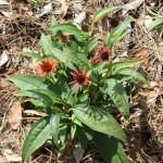 Deadheading Keeps Summer Perennials Beautiful