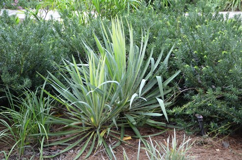 Native yuccas fit easily into the landscape without breaking the bank or the back of the gardener.
