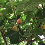 Figs in the Summertime!