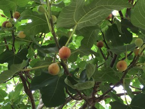 Ripe figs ready to pick. Photo credit: Mary Derrick, UF/IFAS Extension.
