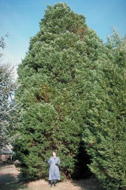 Leyland cypress not the best choice gardening in the Cedar credit