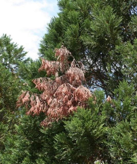 Leyland Cypress…not the best choice