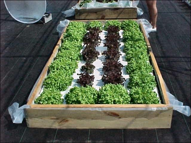 Figure 1. Lettuce in floating garden system. UF / IFAS HS943