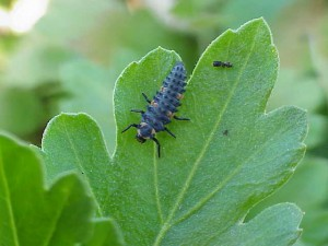 Ladybeetle larvae will eat many soft-bodied pests.