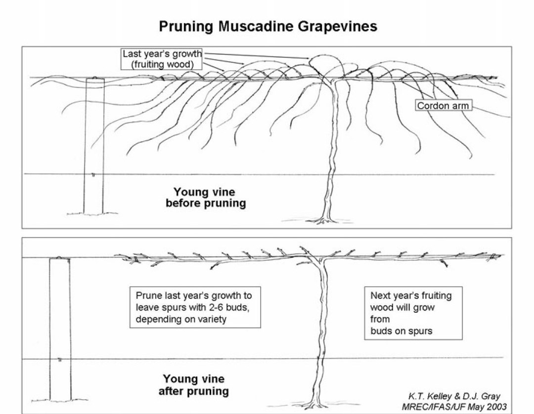 how to grow muscadine grapes in texas