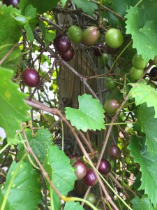 Muscadine grapes are ripening now! Photo credit: Mary Derrick, UF/IFAS Extension.