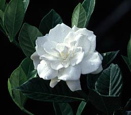 Gardenia, Image Credit Dan Culbert.