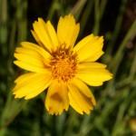 Native Lanceleaf Coreopsis. UF/IFAS Photo: Thomas Wright.