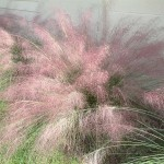 Fall Color with Muhly Grass