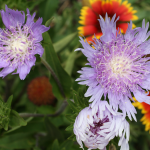 Divide Perennials in the Fall