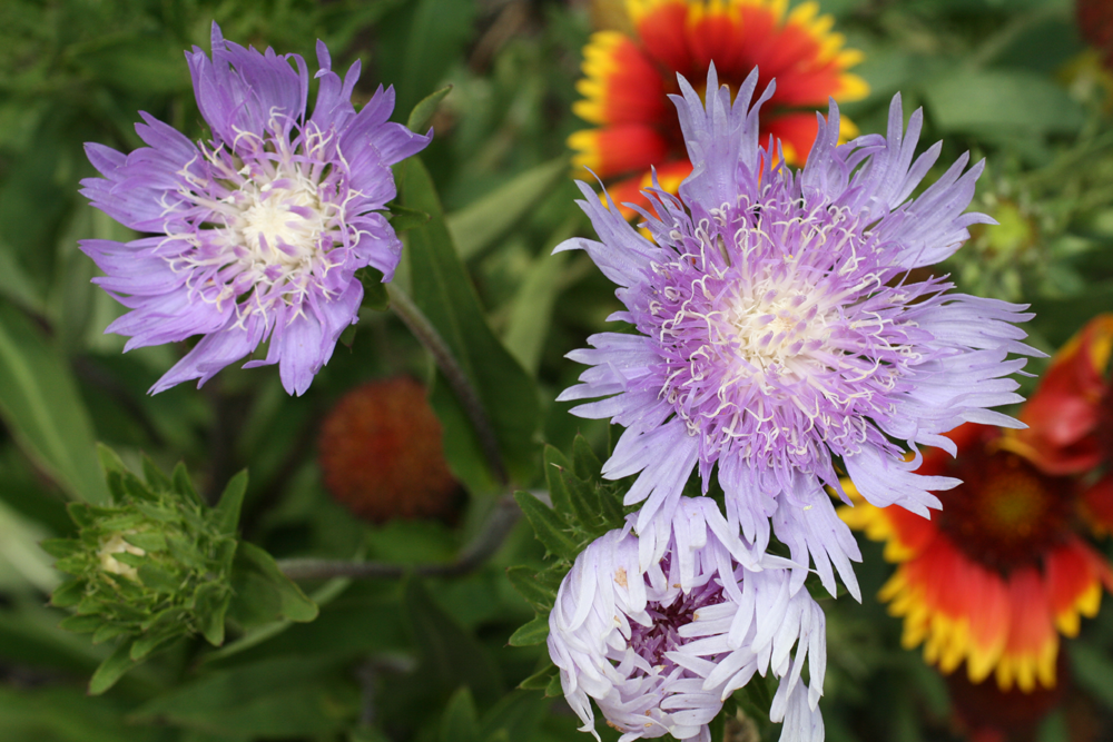 Divide perennials in the fall gardening in the panhandle vibrant blue stokes aster photo credit ufifas mightylinksfo