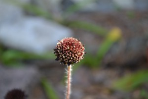 Flower heads have disk flowers but no rays. Photo by Beth Bolles
