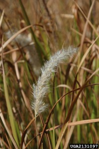 The fluffy white plume of the seedhead. Photo credit: Chris Evans, Illinois Wildlife Action Plan, Bugwood.org.