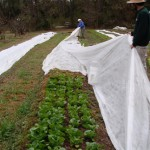 Covering a row of lettuce with frost cloth at Turkey Hill Farm. Photo by Turkey Hill Farm.
