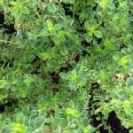 Novice Gardeners Should Consider Herbs!