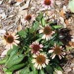 Why Should I Wait to Cut Back Perennials?