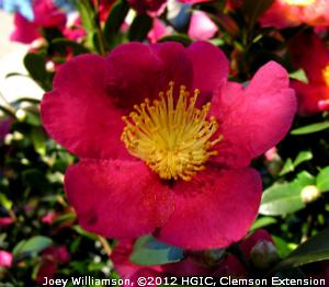 Camellia 'Vernalis Yuletide' at the South Carolina Botanical Garden