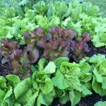 Assorted lettuces in fall garden. Photo by Molly Jameson.