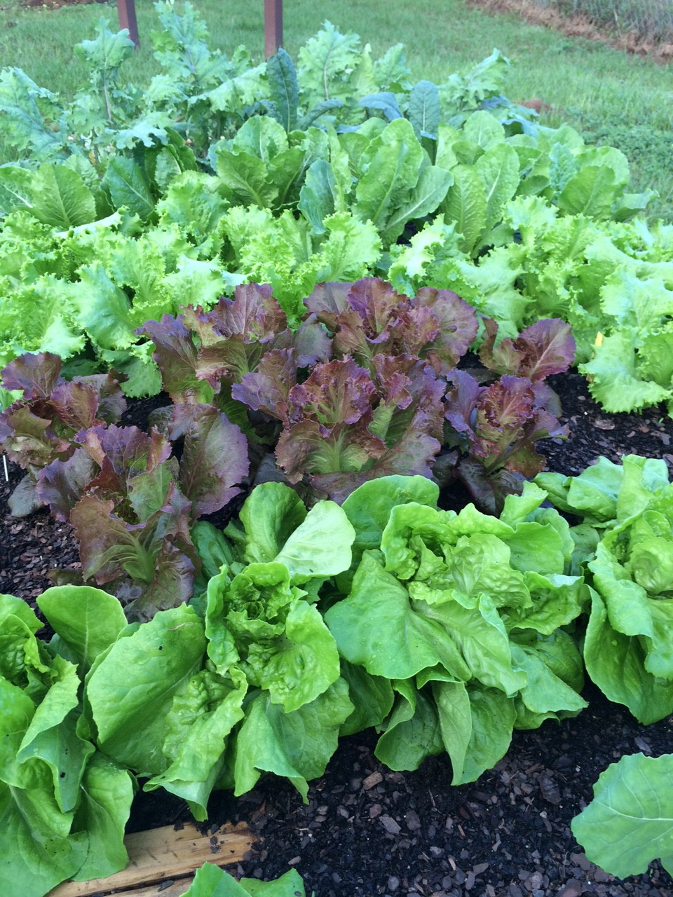 assorted lettuces in fall garden photo by molly jameson - Fall Vegetable Garden