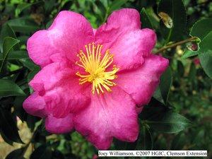 Camellia sasanqua 'Kanjiro' at the South Carolina Botanical Garden