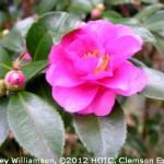 Camellias Beginning to Bloom