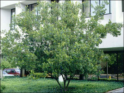 Waxmyrtle. Image Credit UF / IFAS Solutions