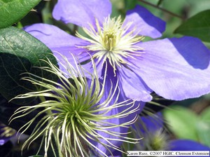 Clematis 'General Sikorski'. Photo Credit: Karen Russ, Clemson University