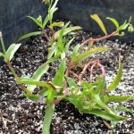 Doveweed: A Warm Season Turf Problem Most Visible In Fall