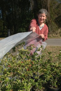 Covering plants to protect from frost. UF/IFAS Photo: Sally Lanigan.