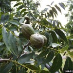 Time to Plant Pecan Trees