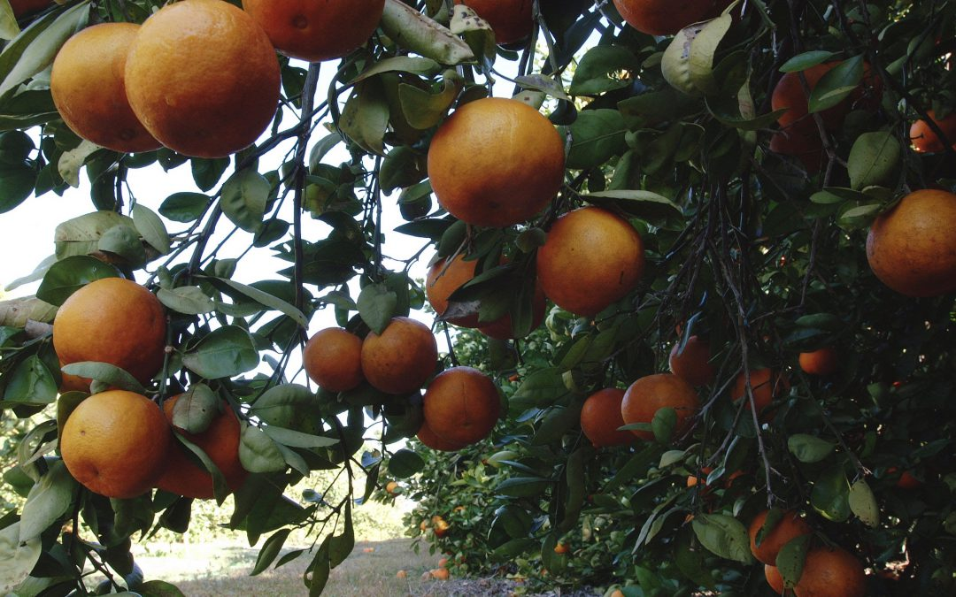 Start Fertilizing Citrus in February