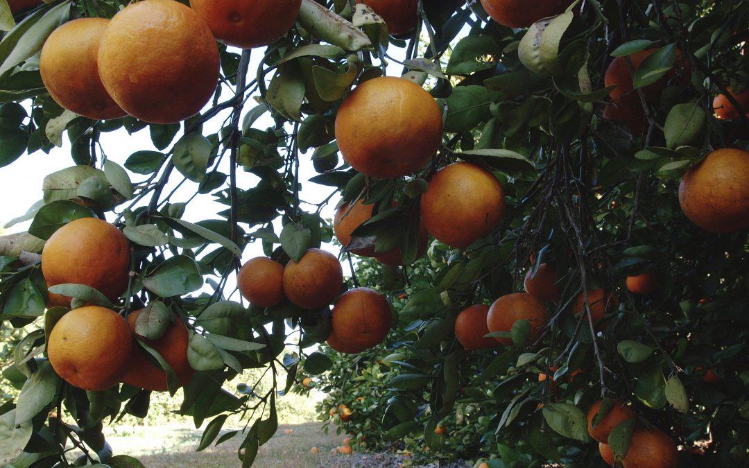 Start Fertilizing Citrus in February