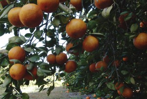 Orange grove at the University of Florida. UF/IFAS photo by Tara Piasio.