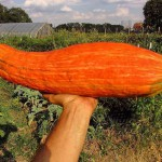 A picture of the 'Big Old Squash' winter squash variety.