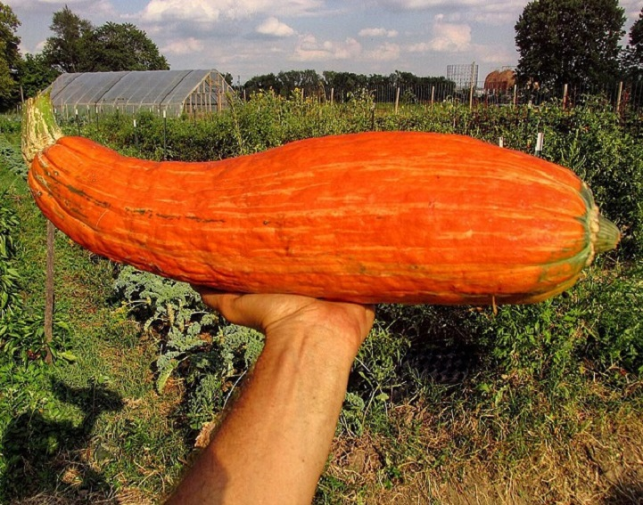 """Big Old Squash"" (Gete-okosomin) Unearthed in Wisconsin"