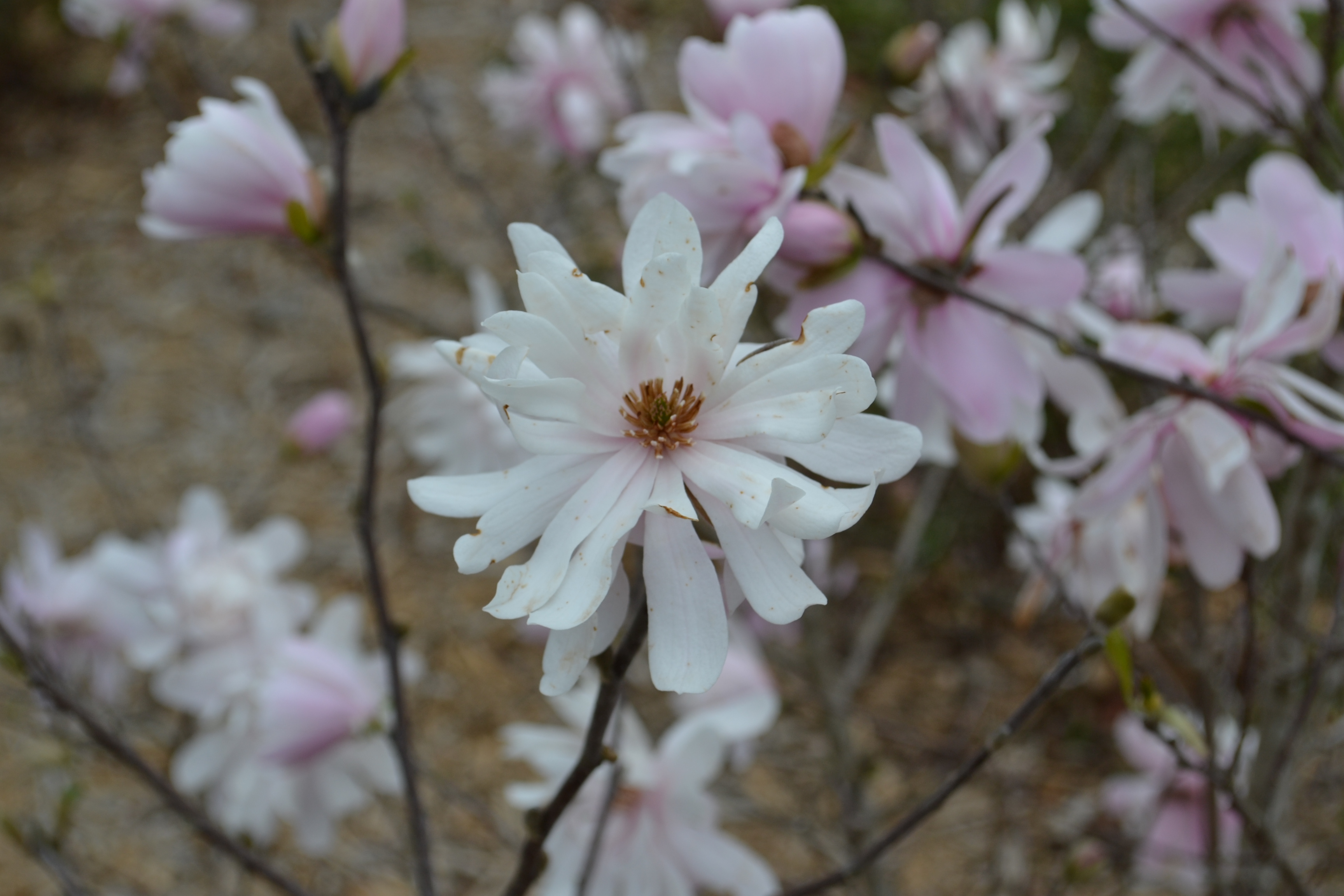 The 'Star' of Magnolias