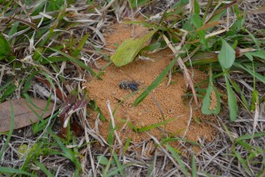 Solitary bee entering ground. Photo by Beth Bolles
