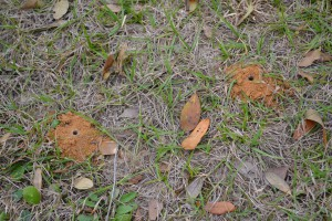 Beneficial solitary bee mounds in the ground. Photo by Beth Bolles
